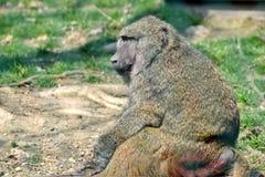 Hoofd de Close-upportret van Papio Anubis van de bavianenaap stock foto