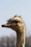 Hoofd dichte omhooggaand van de struisvogel Stock Afbeeldingen