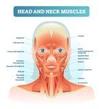 Hoofd en halsspieren geëtiketteerd anatomisch diagram, gezichts vectorillustratie met vrouwelijk gezicht, gezondheidszorg onderwi stock illustratie