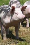 Hoofd geschotene close-up van een jong duroc varken op de weide stock afbeelding
