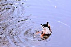 Hoofd in het Water Stock Foto