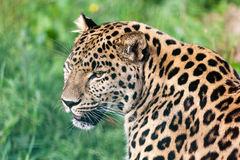 Hoofd Kort Portret van Mooie Luipaard Amur Royalty-vrije Stock Afbeeldingen