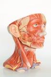 Hoofd menselijke anatomie Stock Afbeeldingen