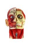 Hoofd menselijke anatomie Stock Foto
