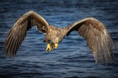 Hoofd op adelaar Stock Foto's
