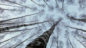 Hoofd op mening op de berkbovenkanten: de wind beweegt boomstammen van Russische bomen stock videobeelden
