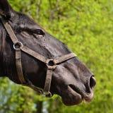 Hoofd paard Stock Foto