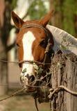 Hoofd paard Royalty-vrije Stock Afbeeldingen
