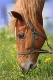 Hoofd rode paarden royalty-vrije stock fotografie