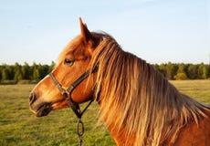 Hoofd rood paard bij zonsondergang Stock Afbeelding