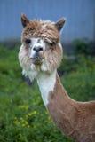 Hoofd schot van Alpaca Royalty-vrije Stock Afbeeldingen