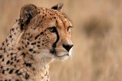 Hoofd studie van een jachtluipaard Royalty-vrije Stock Foto
