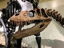 Hoofd t-Rex in het Nationale Museum van Natuurwetenschappen stock afbeeldingen