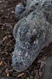 Hoofd van alligator. Royalty-vrije Stock Foto