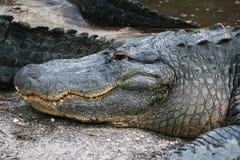 Hoofd van alligator Royalty-vrije Stock Afbeeldingen