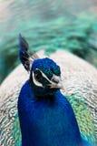 Hoofd van blauwe pauw Stock Afbeeldingen