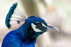 Hoofd van blauwe pauw Royalty-vrije Stock Fotografie