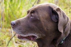 Hoofd van bruin Labrador in het bos royalty-vrije stock foto's