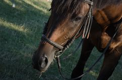 Hoofd van bruin paard Royalty-vrije Stock Foto's