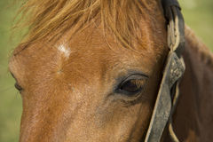 Hoofd van bruin paard Stock Afbeelding
