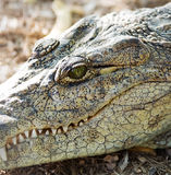 Hoofd van de Amerikaanse krokodil Royalty-vrije Stock Foto