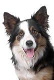 Hoofd van de herdershond van de grenscollie stock foto's