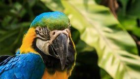 Hoofd van de papegaaidraaien van de close-up het blauw-gouden Ara stock video