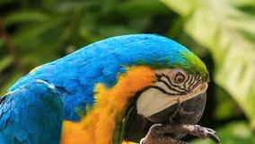 Hoofd van de Papegaaidraaien van de close-up het Blauwe Ara heen en weer in KL-Vogelpark stock videobeelden