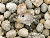 Hoofd van dode kabeljauw op de stenen van de overzeese kustgevolgen van overzeese verontreiniging ecologische crisisfoto Ecologis stock fotografie