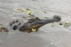Hoofd van een alligator die net boven het water in Florida drijven royalty-vrije stock afbeeldingen