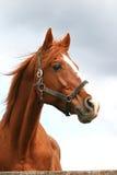 Hoofd van een anglo-Arabisch renpaard tegen blauwe hemel wordt geschoten die Stock Fotografie