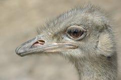 Hoofd van een Babystruisvogel royalty-vrije stock fotografie