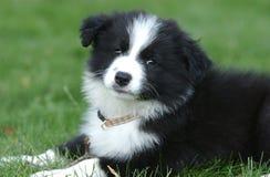 Hoofd van een border collie-puppy Royalty-vrije Stock Afbeelding
