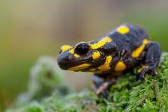 Hoofd van een Brandsalamander in zijn natuurlijke habitat Royalty-vrije Stock Foto