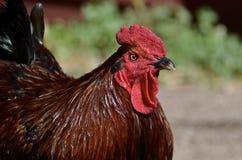 Hoofd van een bruine het leggen kip Stock Afbeeldingen