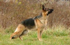 Hoofd van een bruine hond Stock Foto