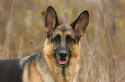 Hoofd van een bruine hond Royalty-vrije Stock Fotografie
