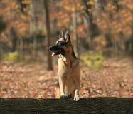 Hoofd van een bruine hond Stock Foto's