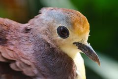 Hoofd van een duif van de kaneelgrond van Nieuw-Guinea in profielmening Stock Afbeeldingen