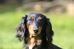 Hoofd van een een zwarte en tan hond Stock Foto's