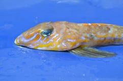 Hoofd van een Gemeenschappelijke Dragonet vis, lyra Callionymus Stock Afbeeldingen