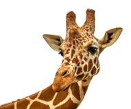 Hoofd van een giraf op een witte achtergrond stock afbeelding