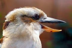 Hoofd van een het lachen kookaburra met een open bek in profielmening stock fotografie