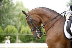 Hoofd van een jong dressuurpaard met onbekende ruiter in actie Royalty-vrije Stock Foto