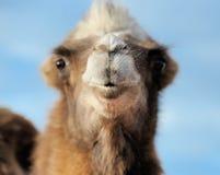 Hoofd van een kameel op een achtergrond van blauwe hemel Royalty-vrije Stock Fotografie