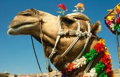 Hoofd van een kameel op safari - woestijn stock afbeelding