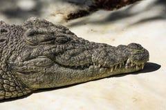 Hoofd van een krokodil stock foto