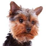 Hoofd van een leuke Yorkshire puppyhond royalty-vrije stock fotografie
