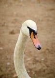 Hoofd van een Mooie jonge zwaan Stock Foto's