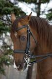 Hoofd van een paard Royalty-vrije Stock Afbeeldingen